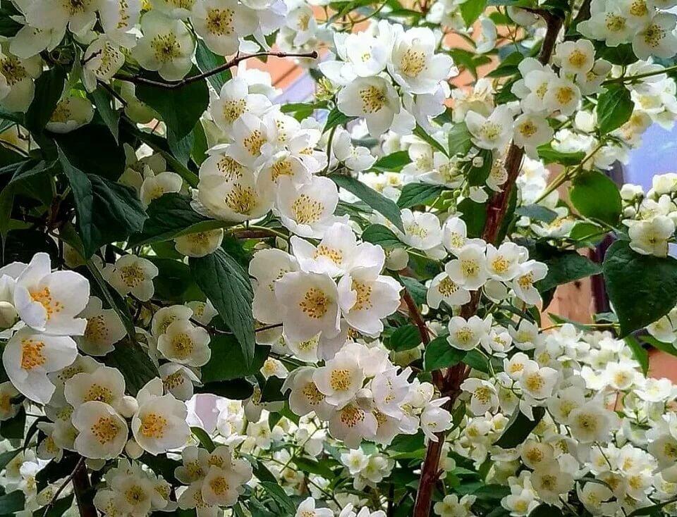 цветущий кустарник фото с названиями в питере сказал