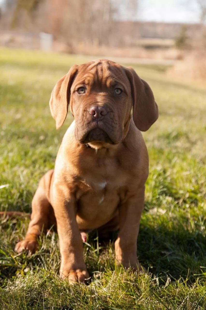 Бордоский дог щенок картинка