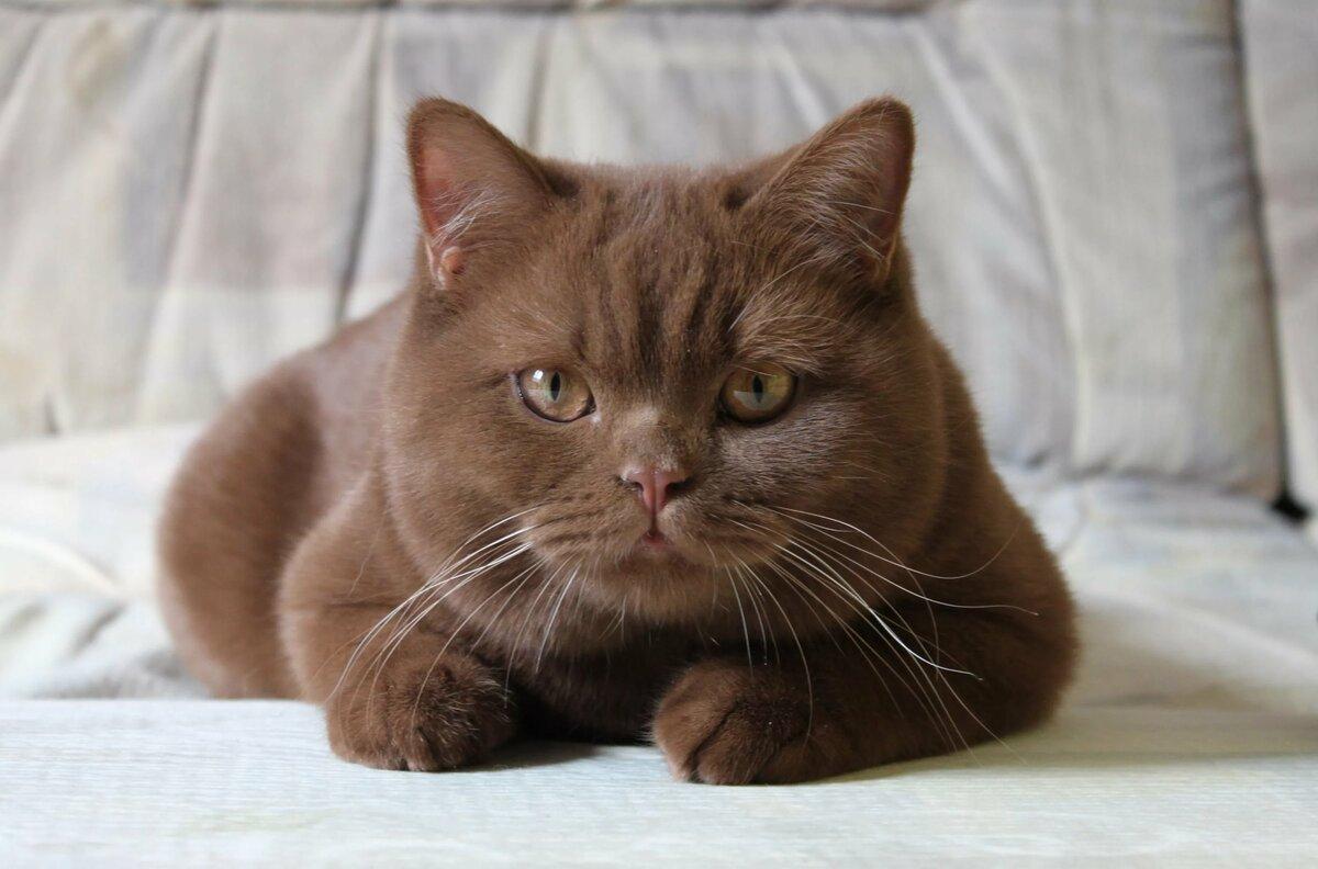 британец кот шоколадный картинки особи