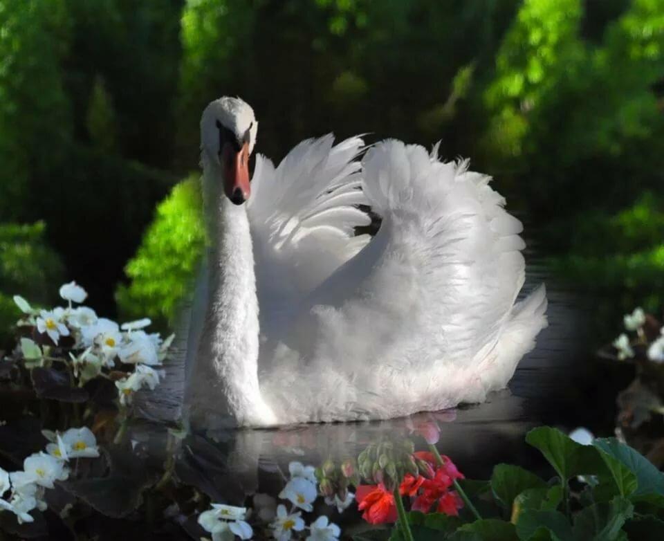Цветы в картинках у лебедей