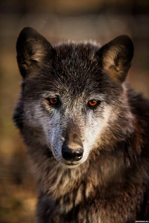 крутые фото волка на аву ним