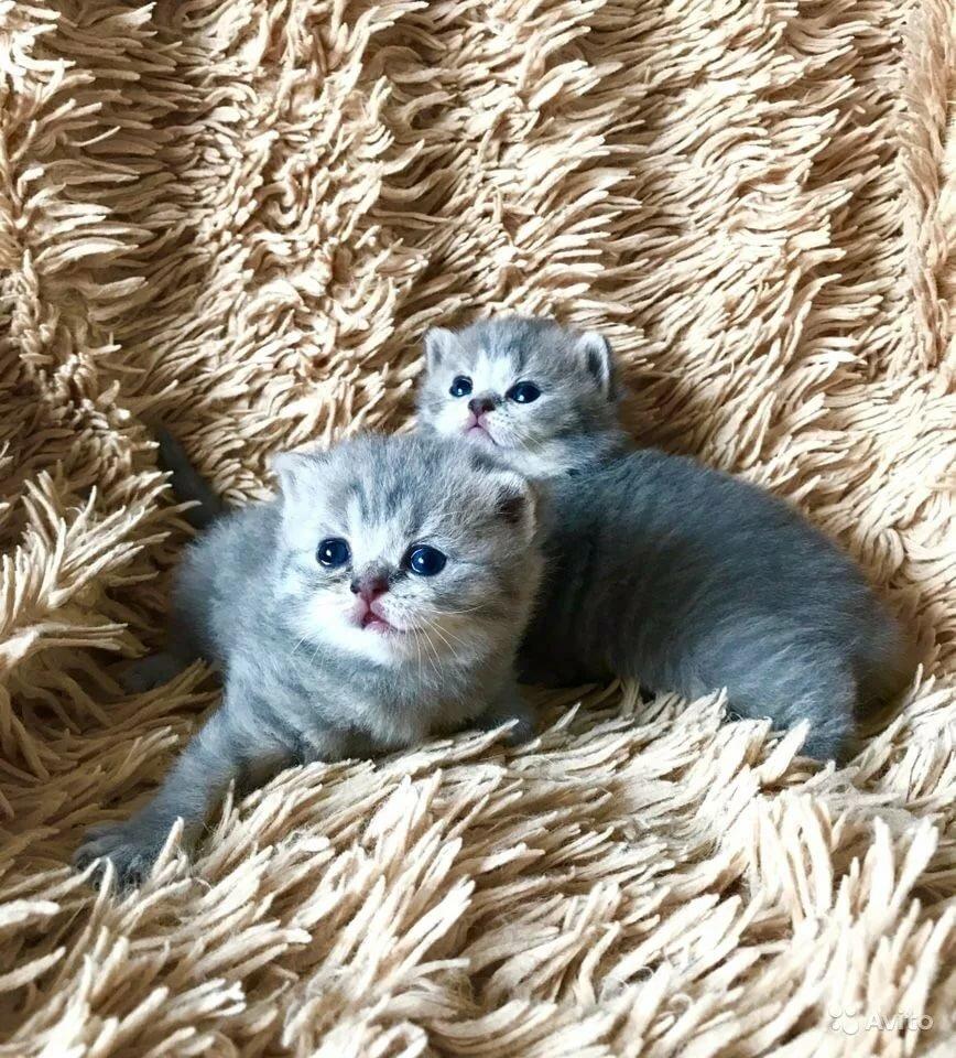 же, все о шотландских котятах в картинках последних видео
