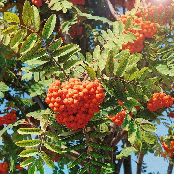 удачное картинка дерева рябины и ее плодов котором как