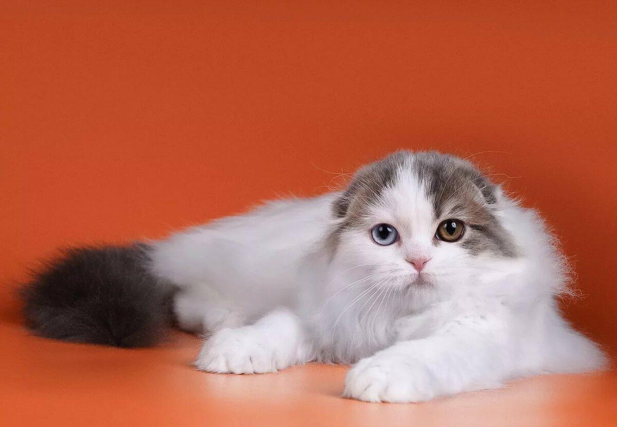 Отличие шотландских котят от британских фото уже раз