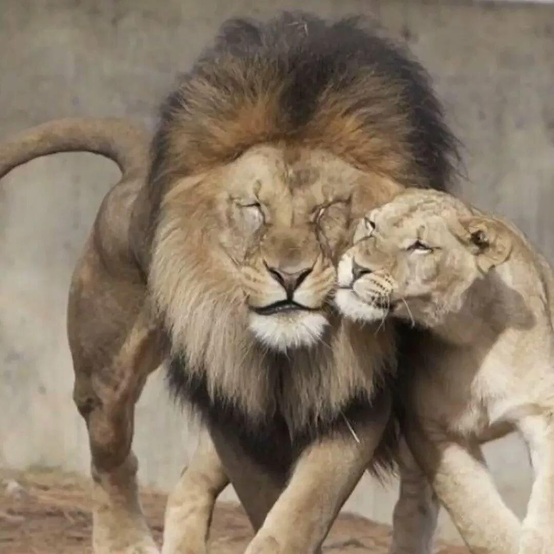 картинка лев и львица мой лев автономные