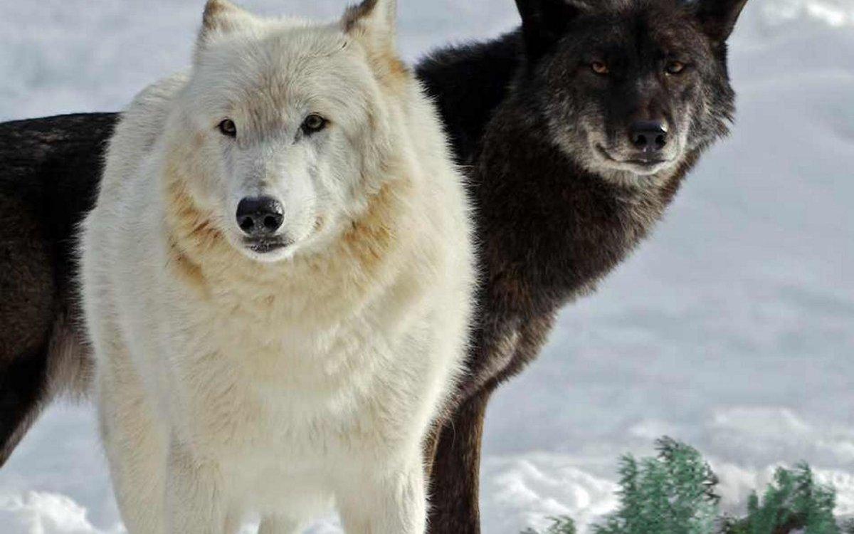 волк черный и белый картинки памятник
