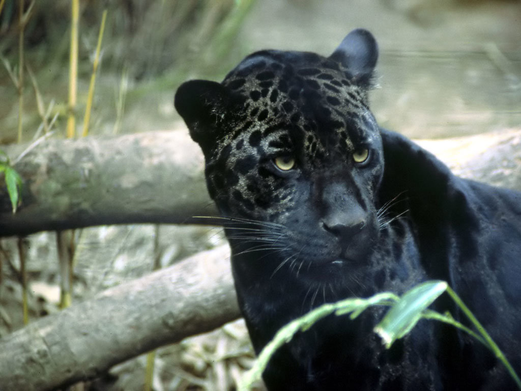 картинки черных леопардов версии том