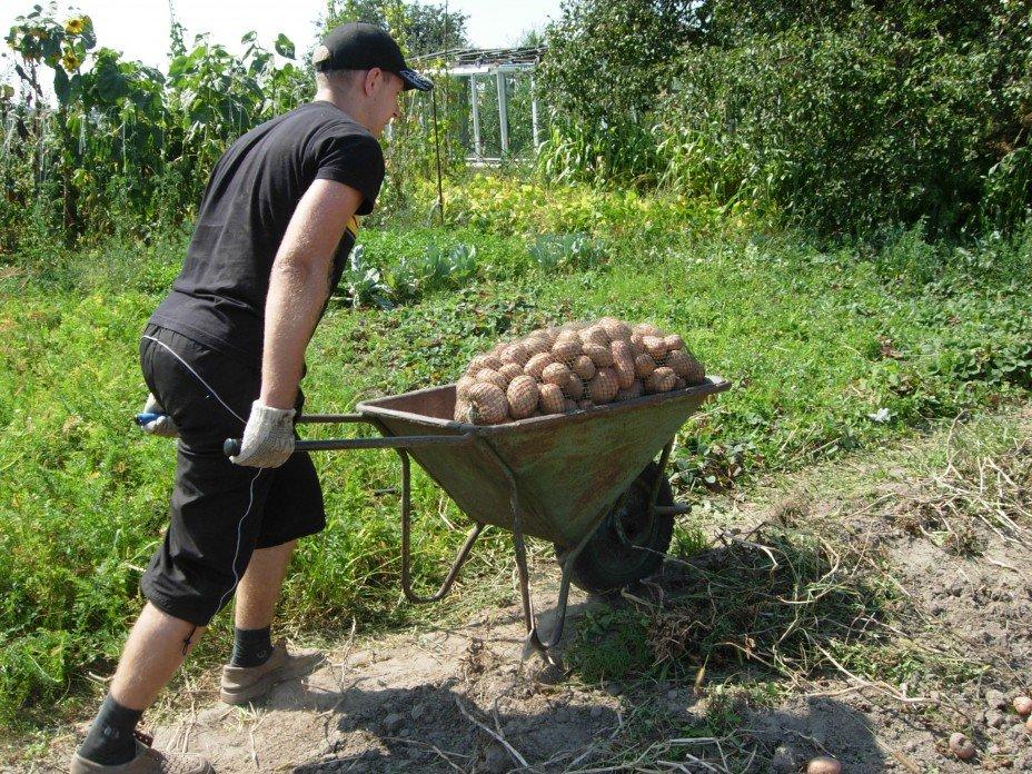 картинка копка картошки приготовления