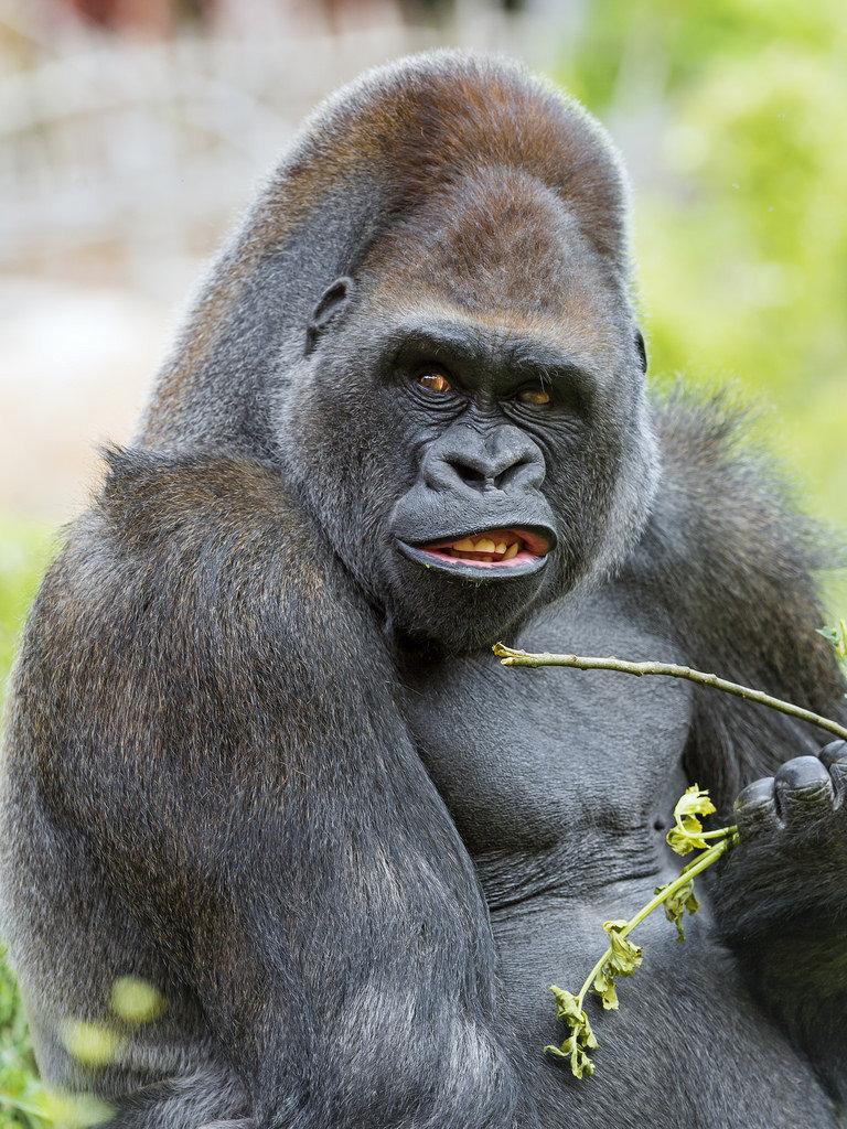 Картинки про гориллу