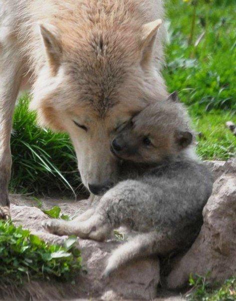 Волчица и ее волчонок  - семейная идилия