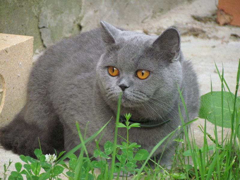 Картинки британского кота кузьму