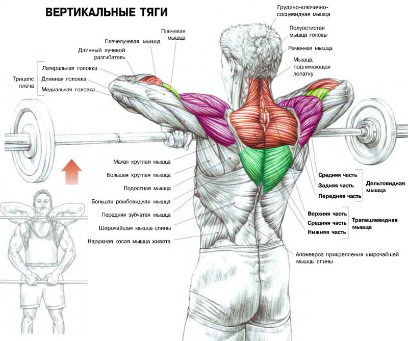 Тренировку дельтовидных мышц необходимо начинать с жимов.