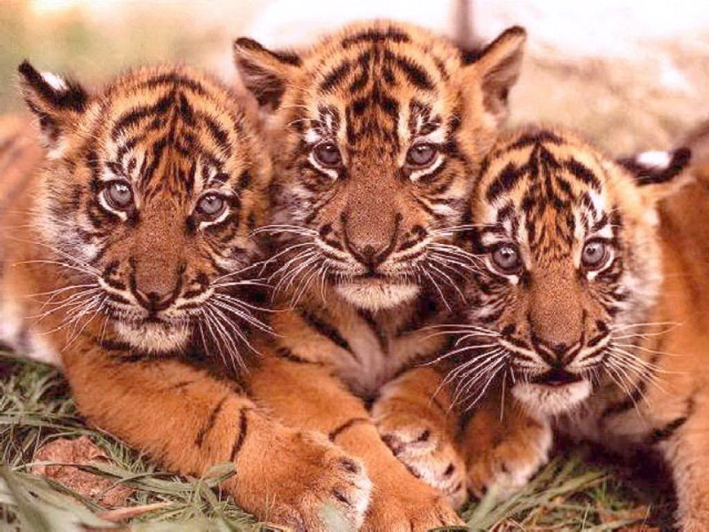 Картинки тигренок