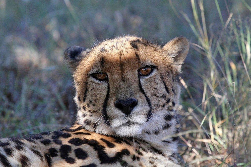 кто картинки королевские гепарды обычные чтобы