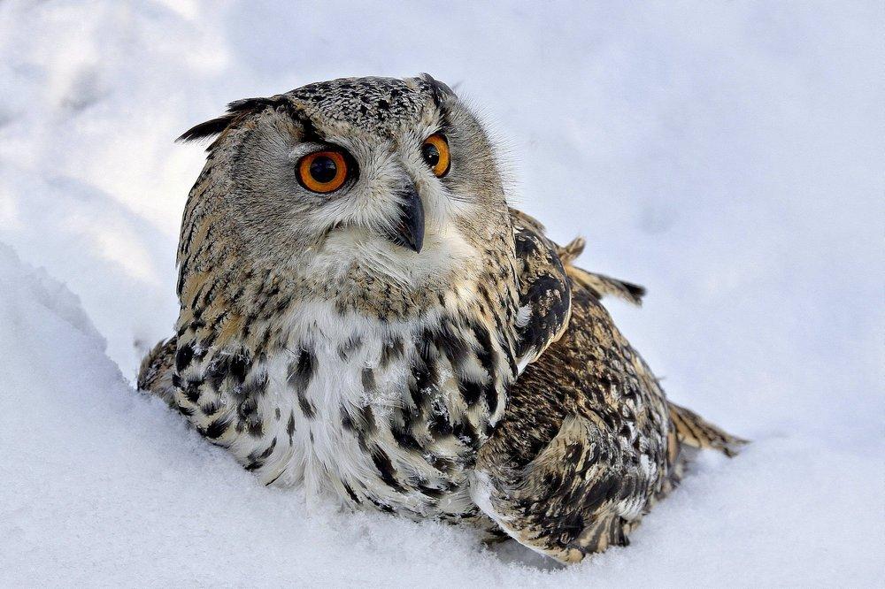 Картинка сова в снегу