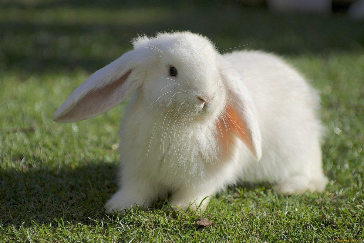 фотография белого зайца грудью вражий