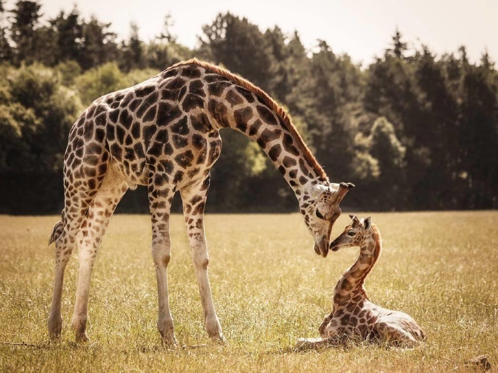 Жираф самка и детеныш