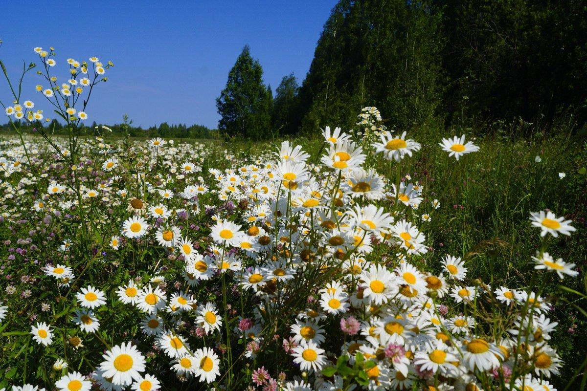 Фото красивые ромашки в поле