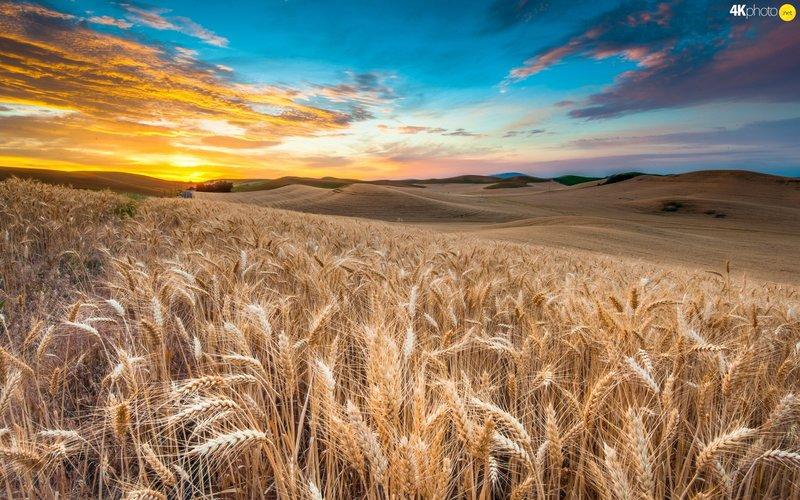Заход солнца и пшеничные колосья