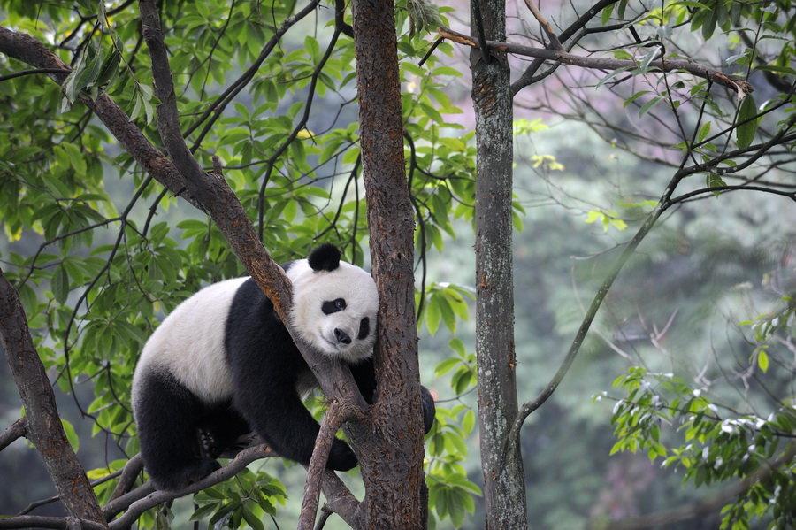 Гигантские панды это черно-белые медведи, живущие в умеренной зоне Ð±Ð°Ð¼Ð±ÑƒÐºÐ¾Ð²Ñ‹Ñ Ð»ÐµÑÐ¾Ð² в центрально-западном и юго-западном Китае. Одни из ÑÐ°Ð¼Ñ‹Ñ Ñ€ÐµÐ´ÐºÐ¸Ñ Ð¶Ð¸Ð²Ð¾Ñ'Ð½Ñ‹Ñ Ð¼Ð¸Ñ€Ð°.