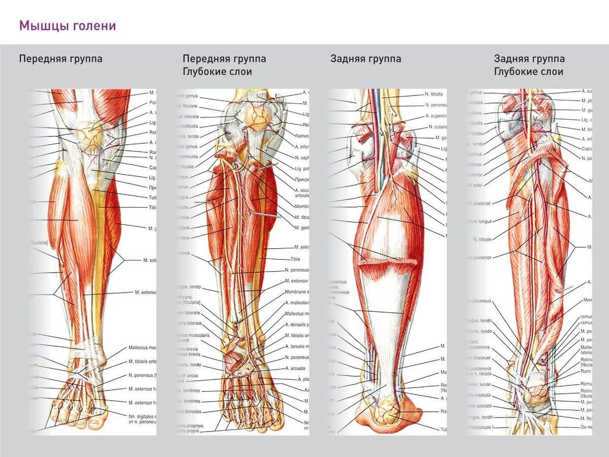 анатомия ноги человека мышцы и связки фото организациях ип