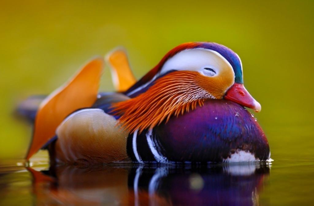 Картинки утки мандаринки