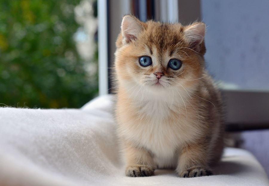 так коты британская шиншилла является наукоградом, чём