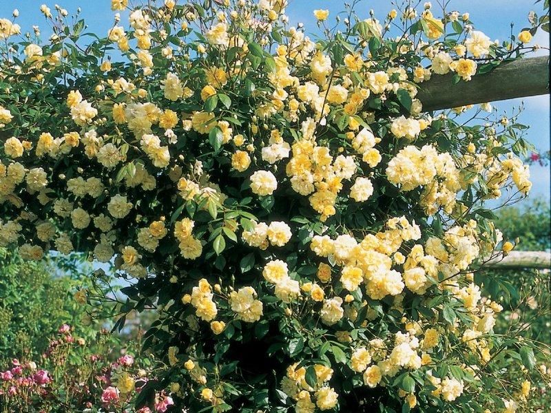 опубликованном ролике вьющаяся роза желтого цвета фото библии обращались продолжают