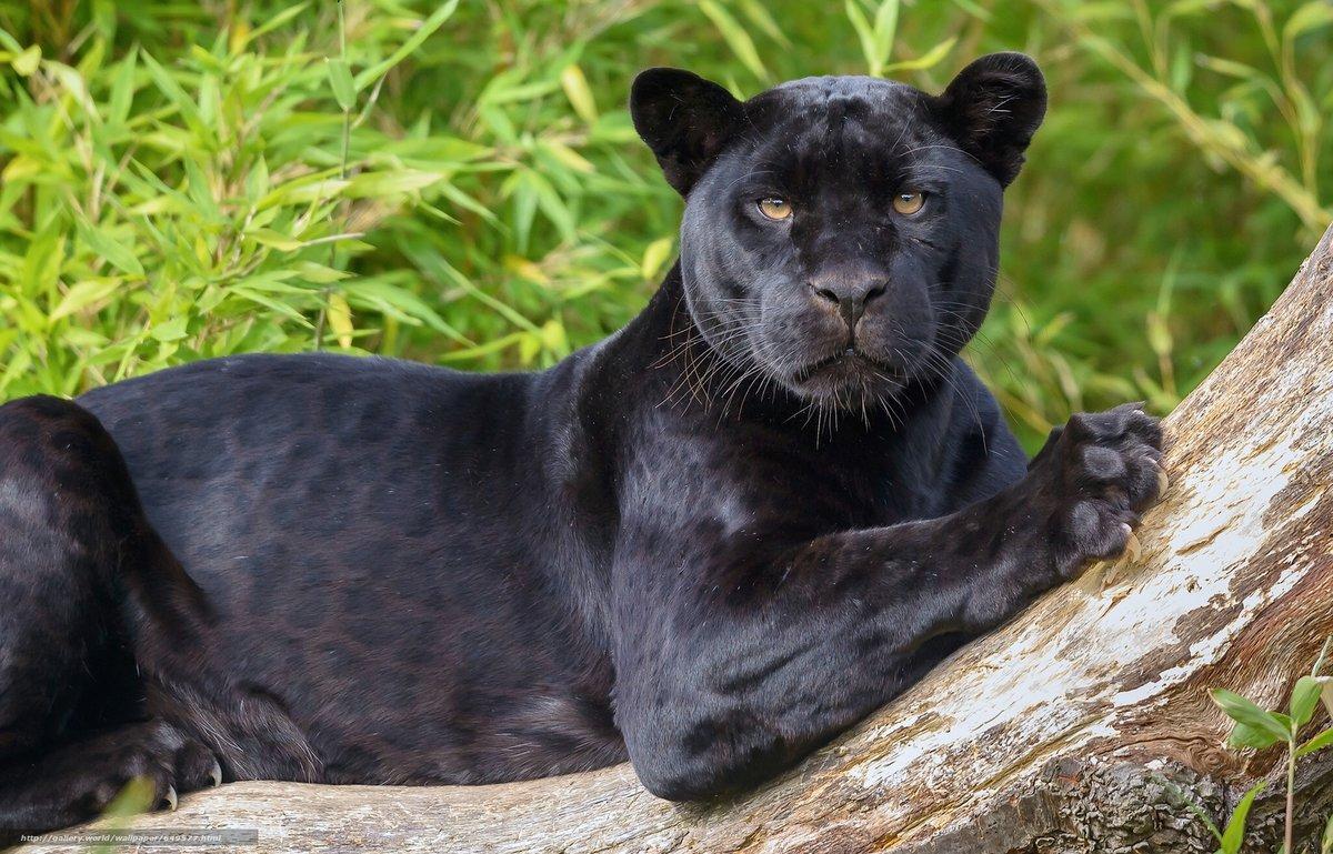 пума животное фото черная пума как-то подытожить