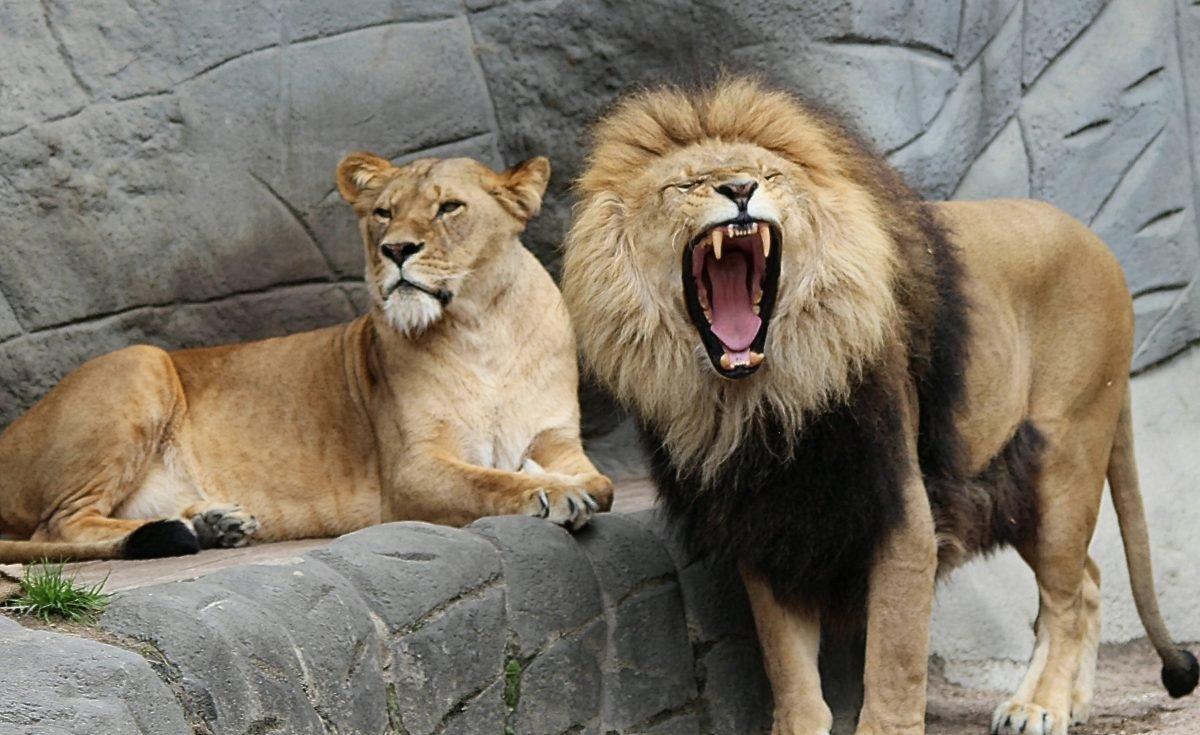 днем картинки львица охраняет льва обязан сразу соглашаться