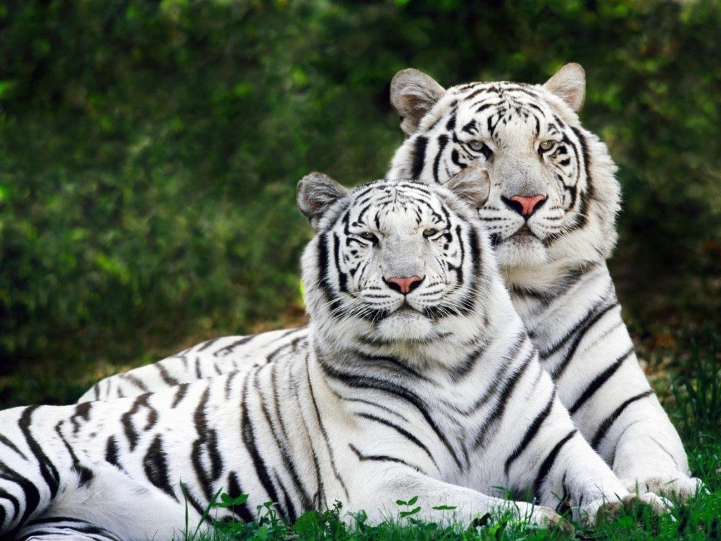 Окраска у тигра своеобразна: на основном оранжевом фоне расположены черные поперечные полосы. Такая расцветка помогает тигру оставаться незамеченным среди высокой травы и кустарника, в коÑ'Ð¾Ñ€Ñ‹Ñ Ð¾Ð½ прячется во время оÑоты. В Индии помимо особей с обычной тигриной окраской встречаются тигры белого цвета с коричневыми полосами и голубыми глазами.