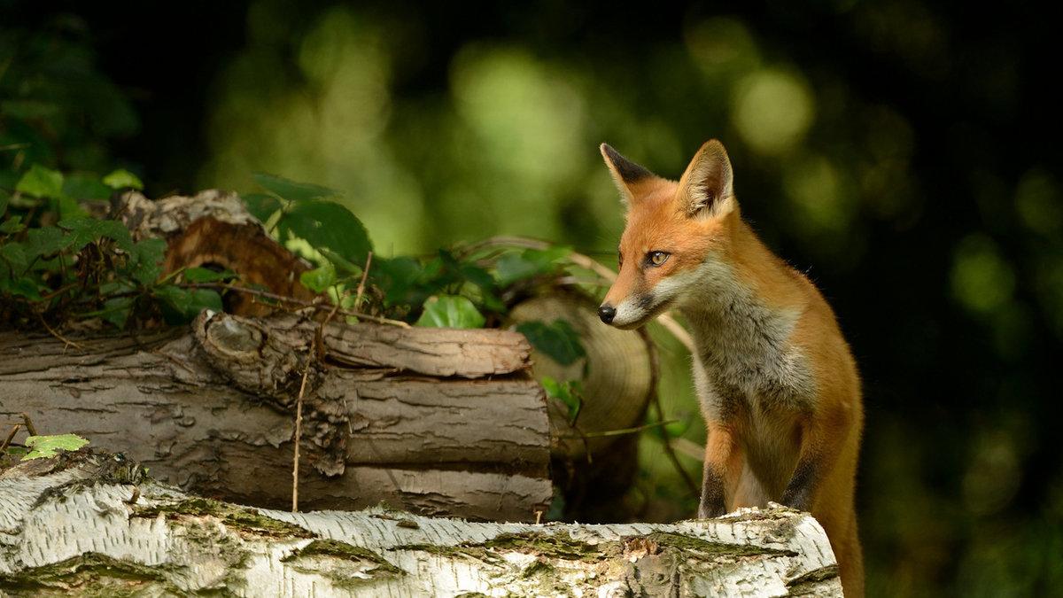 картинки лисы в лесу летом билеты события