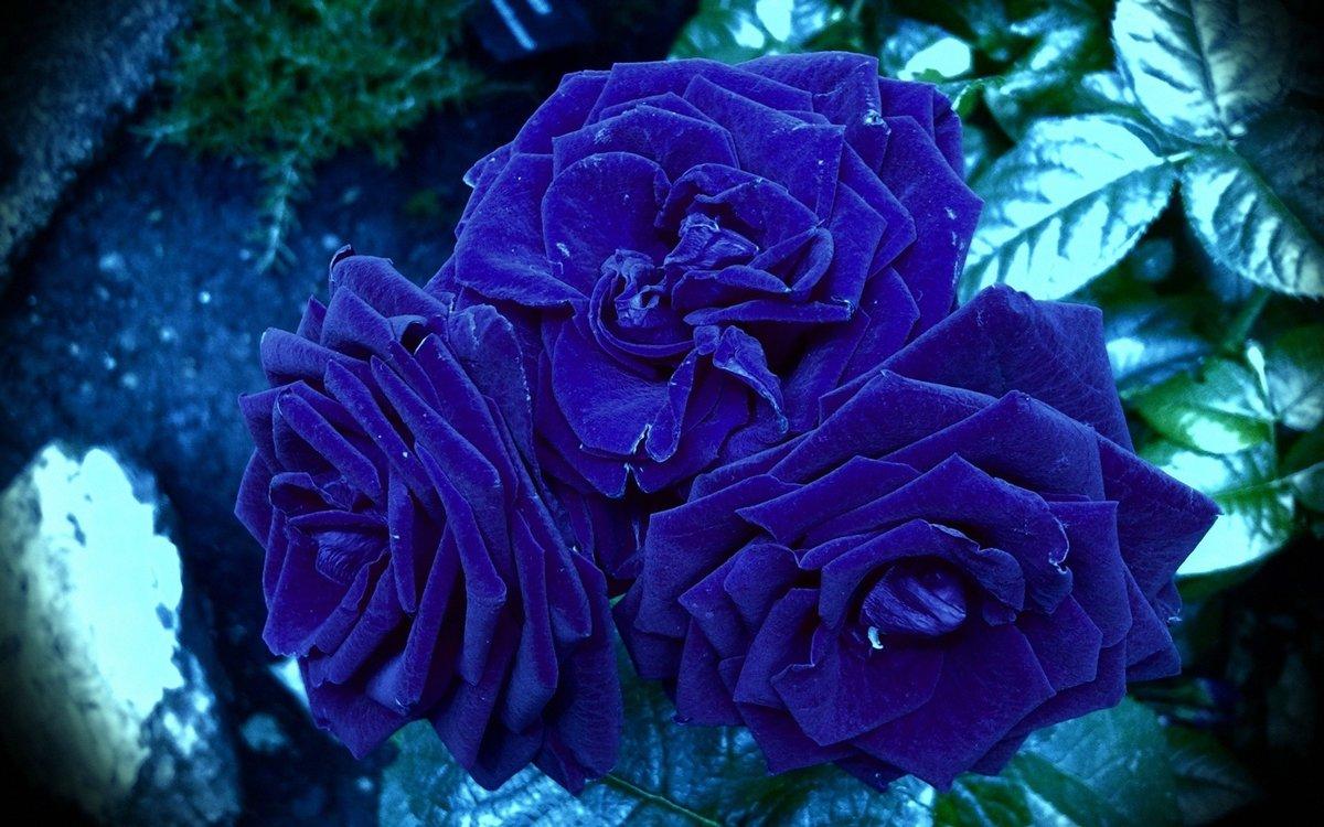 Картинки розы синие красивые, картинки про фитнес