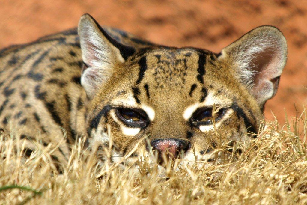 Фото кота оцелота