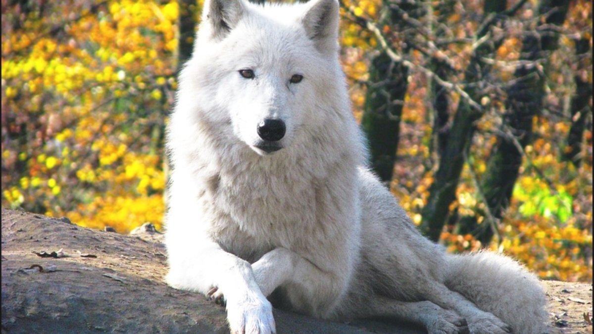 Картинки белый волк, картинки фанатов картинки