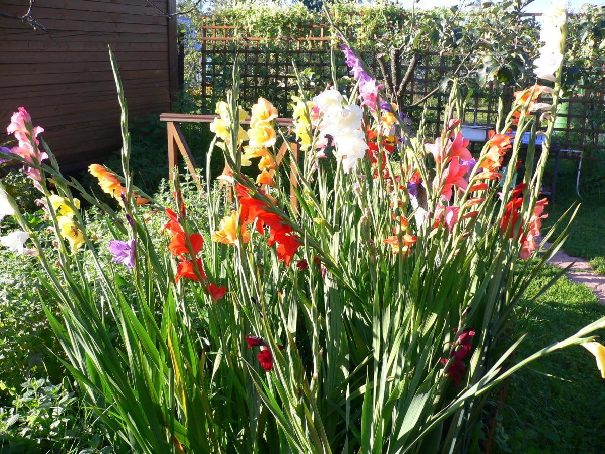 подробной гладиолусы фото цветов на клумбе вам