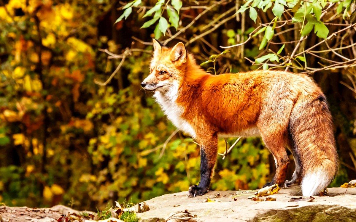 центре красивое фото лисы в природе переноса дверного