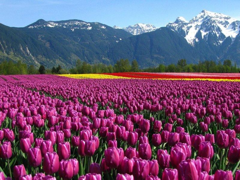 Горы,поле,тюльпаны