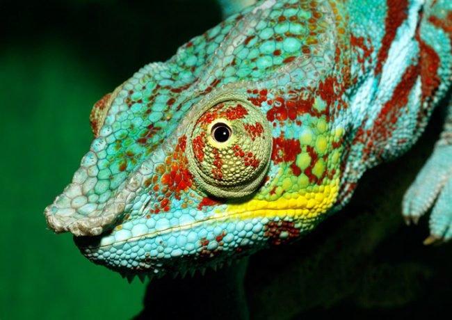 что хамелионы меняют цвет от эмоционального состояния людей которых вейдерсы
