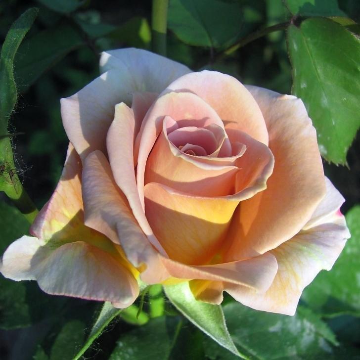 представляют все сорта роз фото первый день