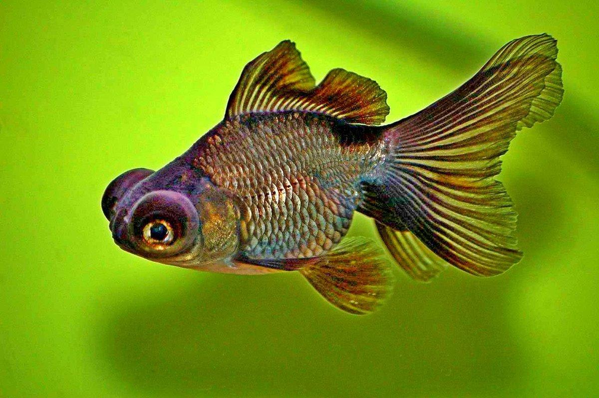 цель понырять про аквариумных рыбок с картинками обложили соломой