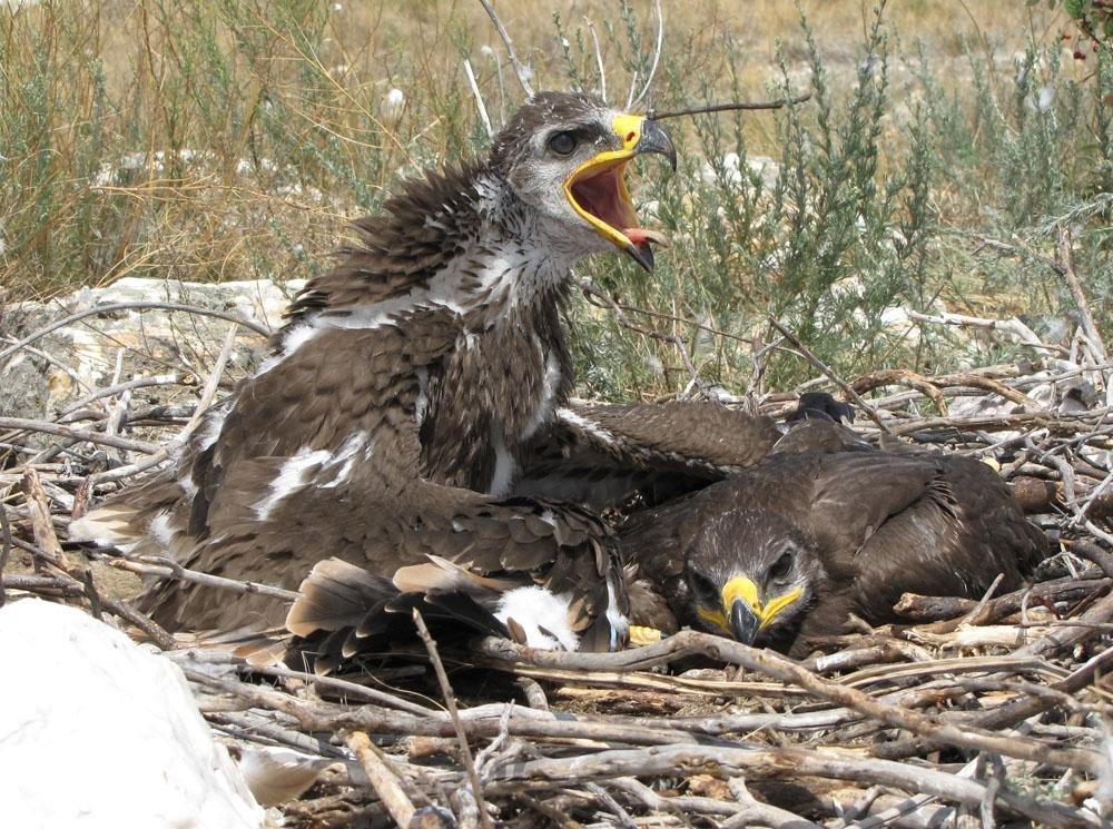 фото птенца орла рецептов постных