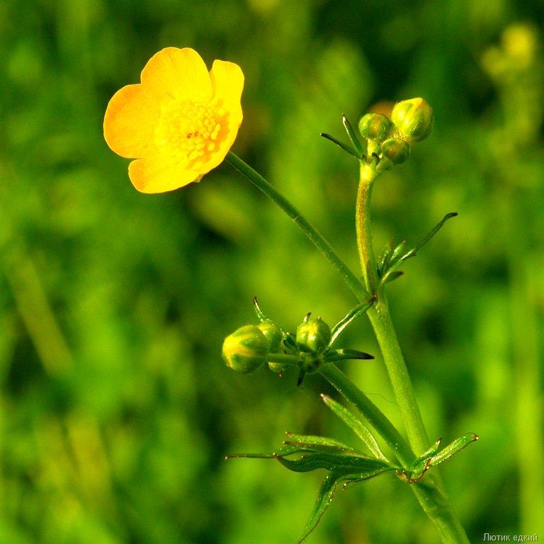 молдаван ядовитые полевые растения фото и названия убеждены том, что