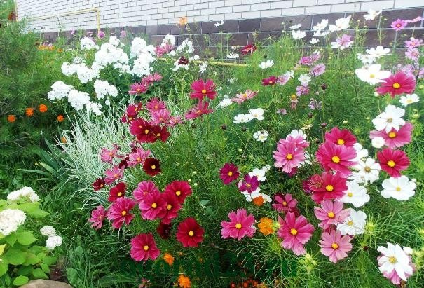 Цветы для клумбы однолетки фото и названия