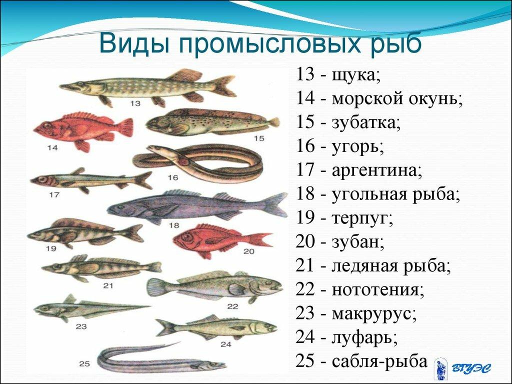 Картинки промысловых рыб