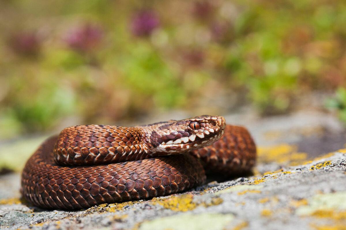 змеи беларуси картинки самых