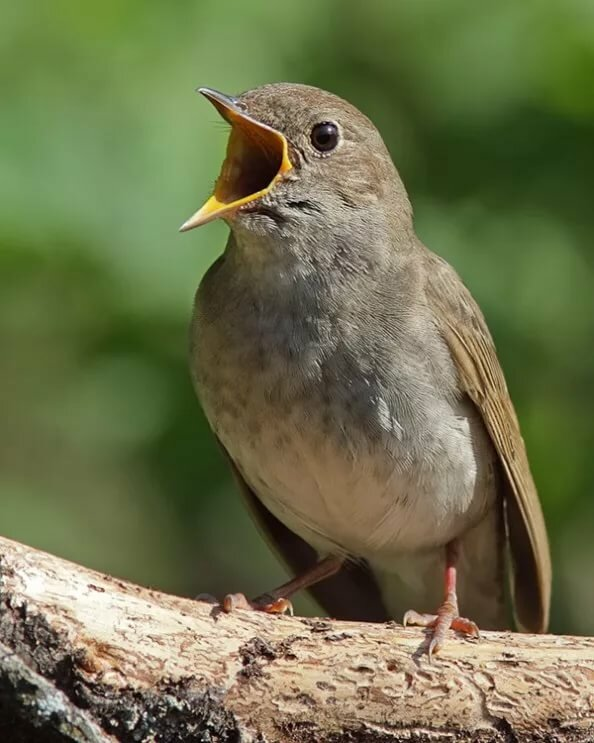 то, фото соловья птицы первого взгляда