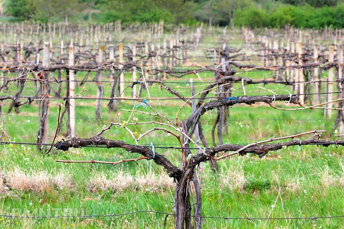 плетения виноград формирование куста фото икроножную мышцу