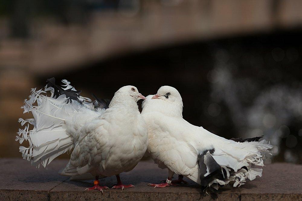 поцелуй картинки с голубями
