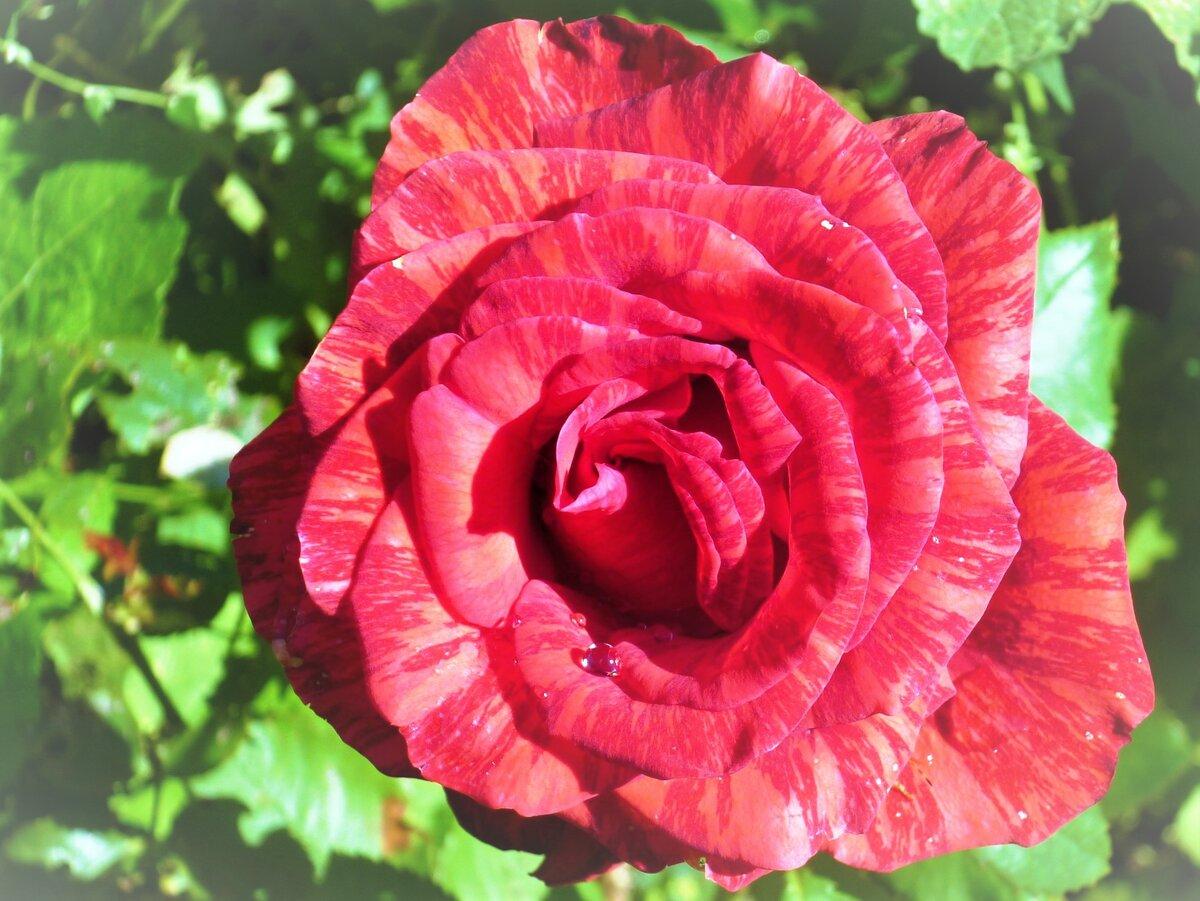 роза ред интуишн апачи фото и описание собачка, скачать